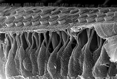 Cellule ciliate dell'orecchio osservate al microscopio